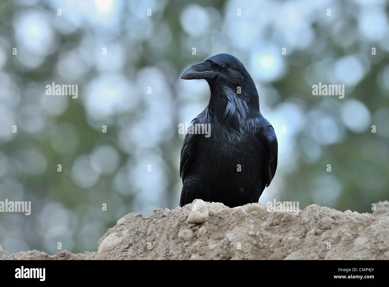 A Raven bird perched on the top of a pile of loose earth - Stock Image
