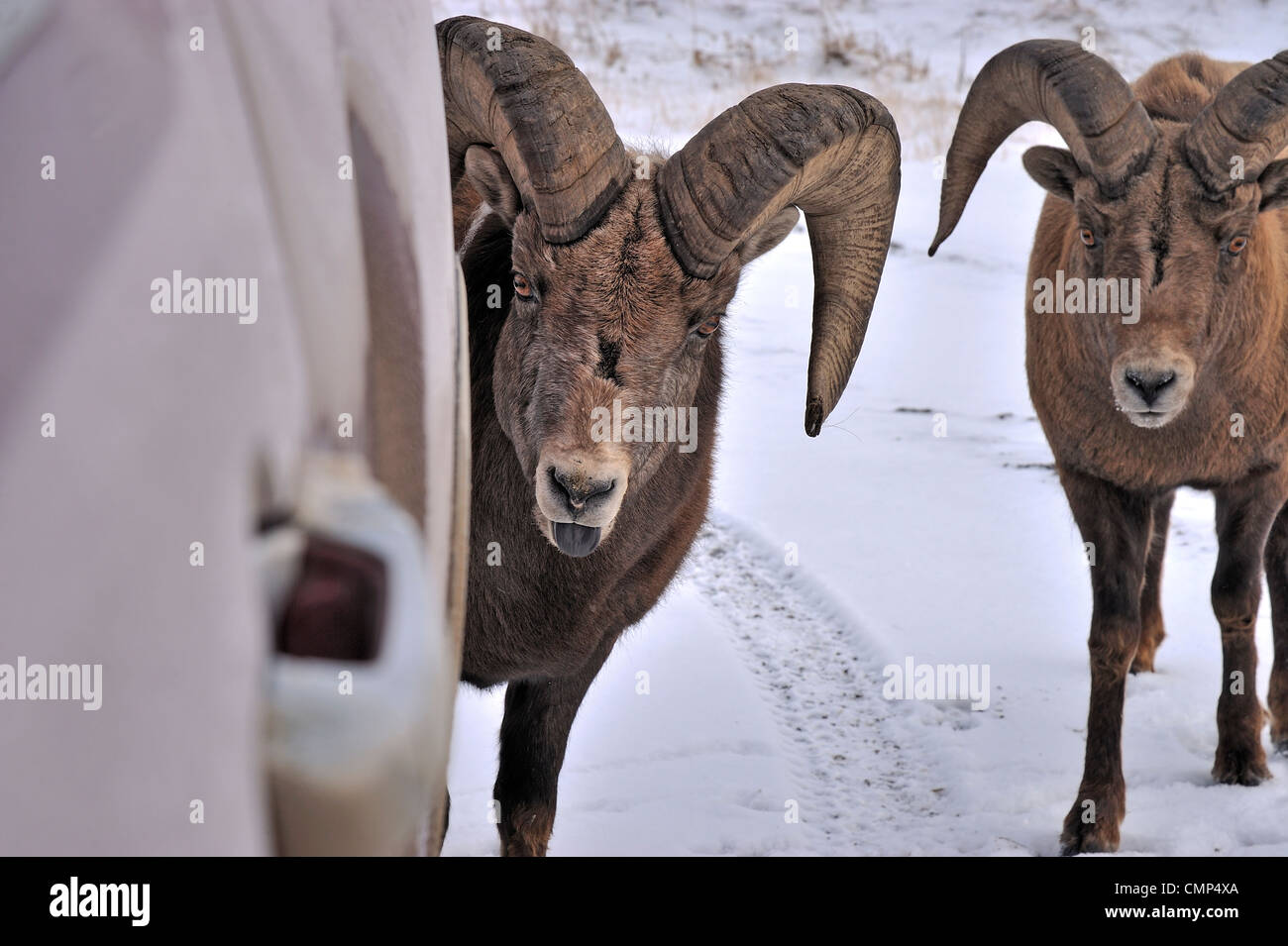 A bighorn ram licking road salt from the surface of a pick up truck. - Stock Image