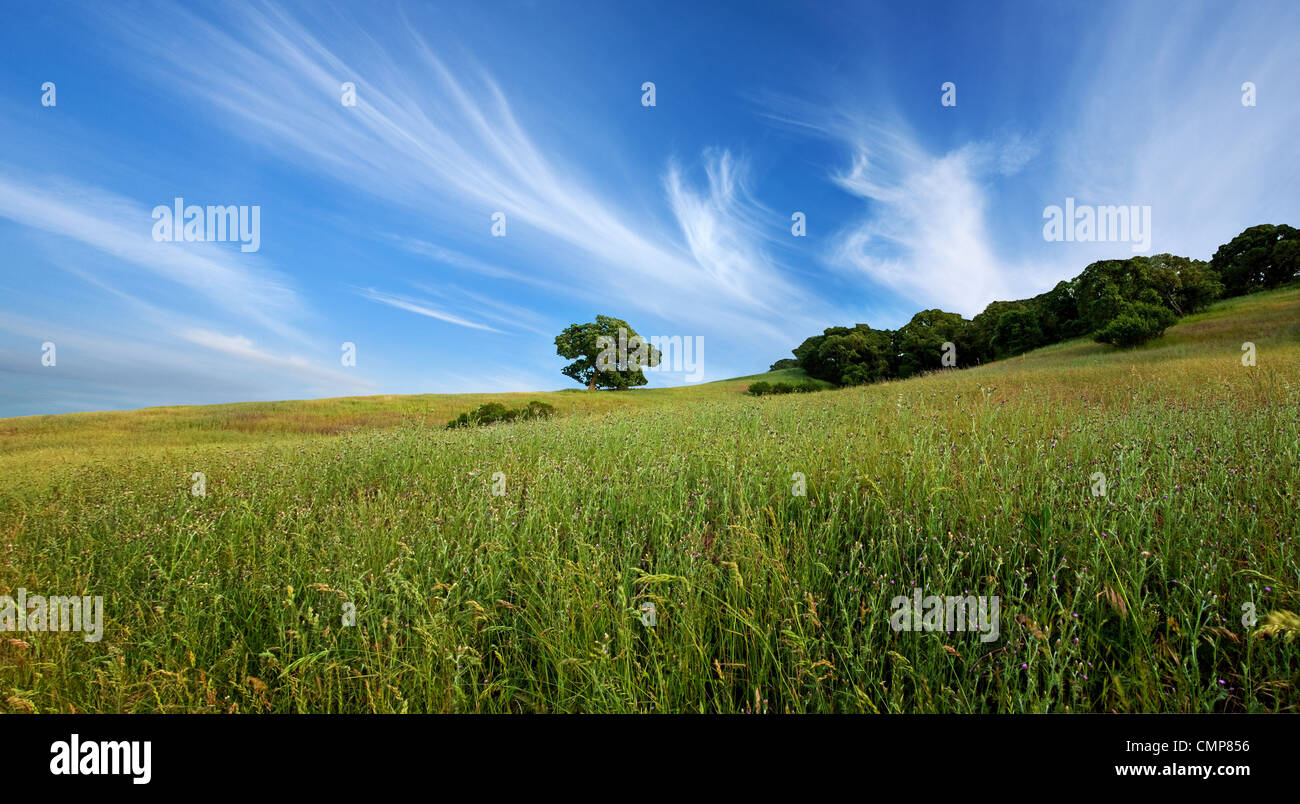 Beautiful sky, lone tree, and green field in central California in summer Stock Photo