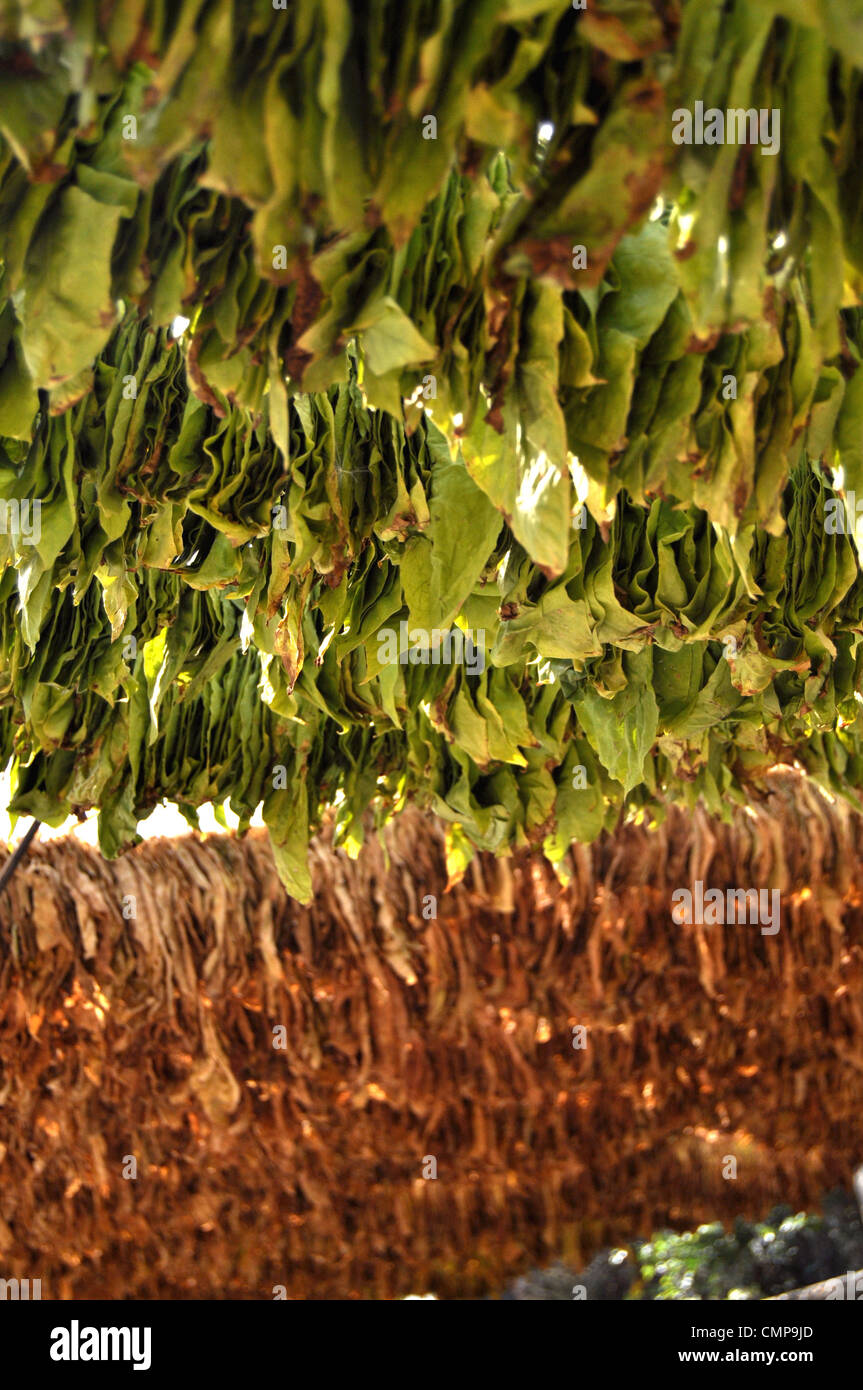 Tobacco leaves hanging for drying - Stock Image