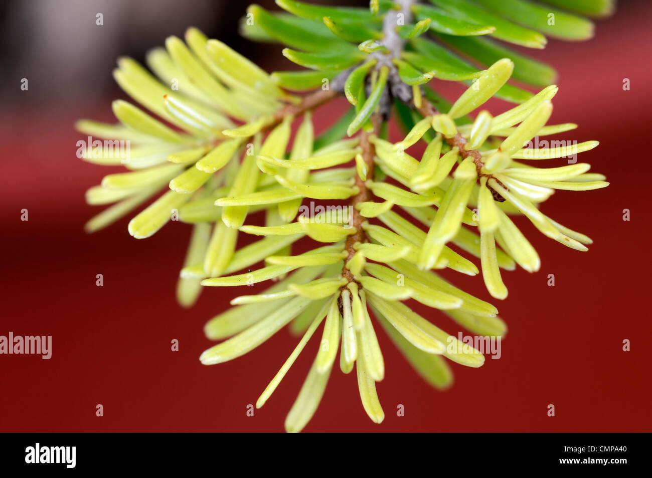 abies nordmanniana  golden spreader closeup yellow green foliage leaves needles plant portraits conifers evergreens - Stock Image