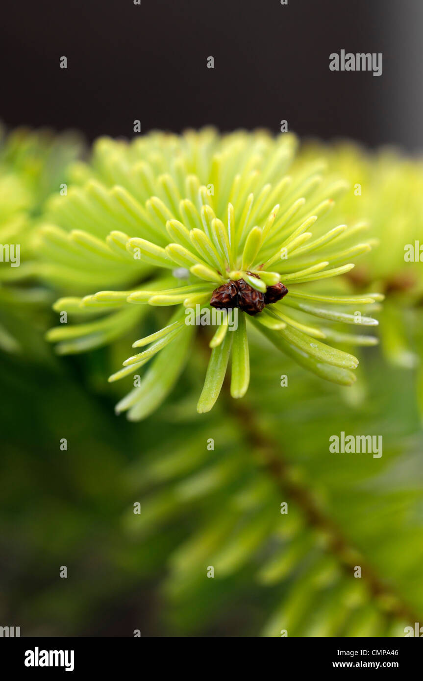 abies nordmanniana  golden spreader closeup yellow green foliage leaves needles plant portraits conifers evergreens Stock Photo