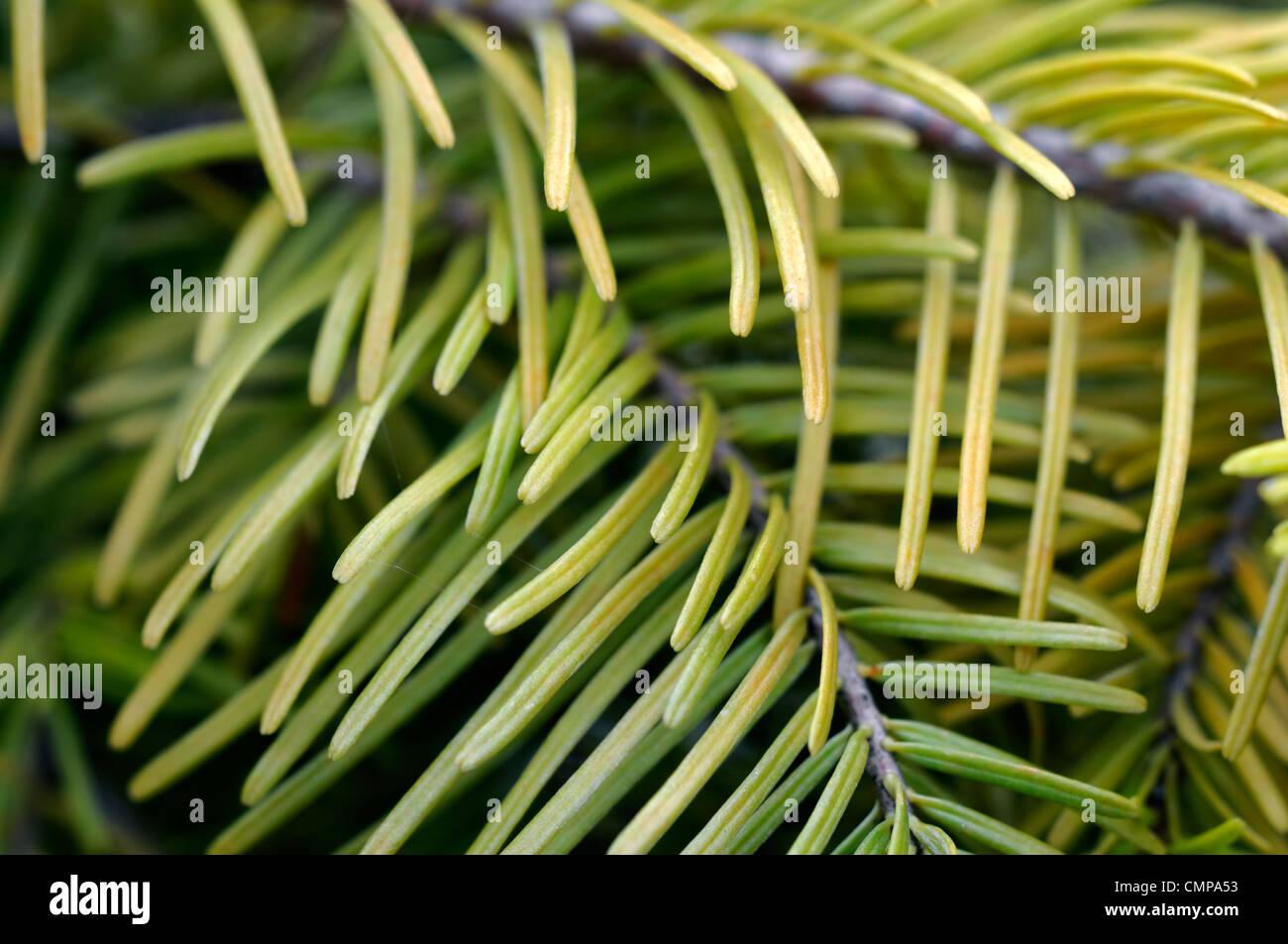 abies vilmorinii Vilmorin's Fir tree closeup green foliage leaves needles plant portraits conifers evergreens - Stock Image