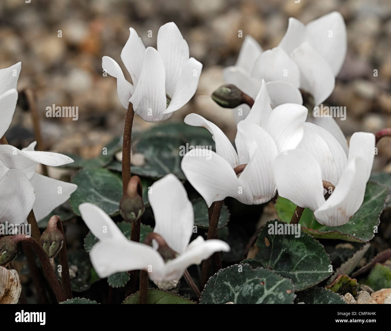 cyclamen sierra mixed hybrid white flowers marbled green foliage leaves perennial spring flowering bloom blossom - Stock Image