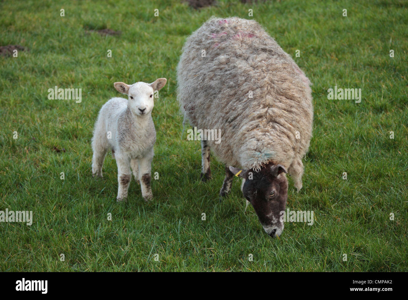 A ewe and her lamb in a field in Nidderdale, Yorkshire - Stock Image