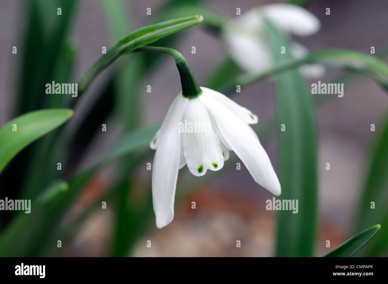 Snowdrop Bulbs Stock Photos Snowdrop Bulbs Stock Images Alamy