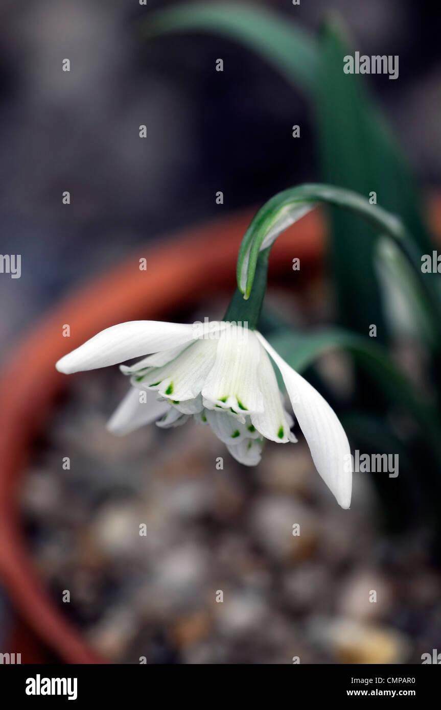 Galanthus lady beatrix stanley snowdrop white flowers green markings flower bulbs snowdrops spring flowering bloom - Stock Image