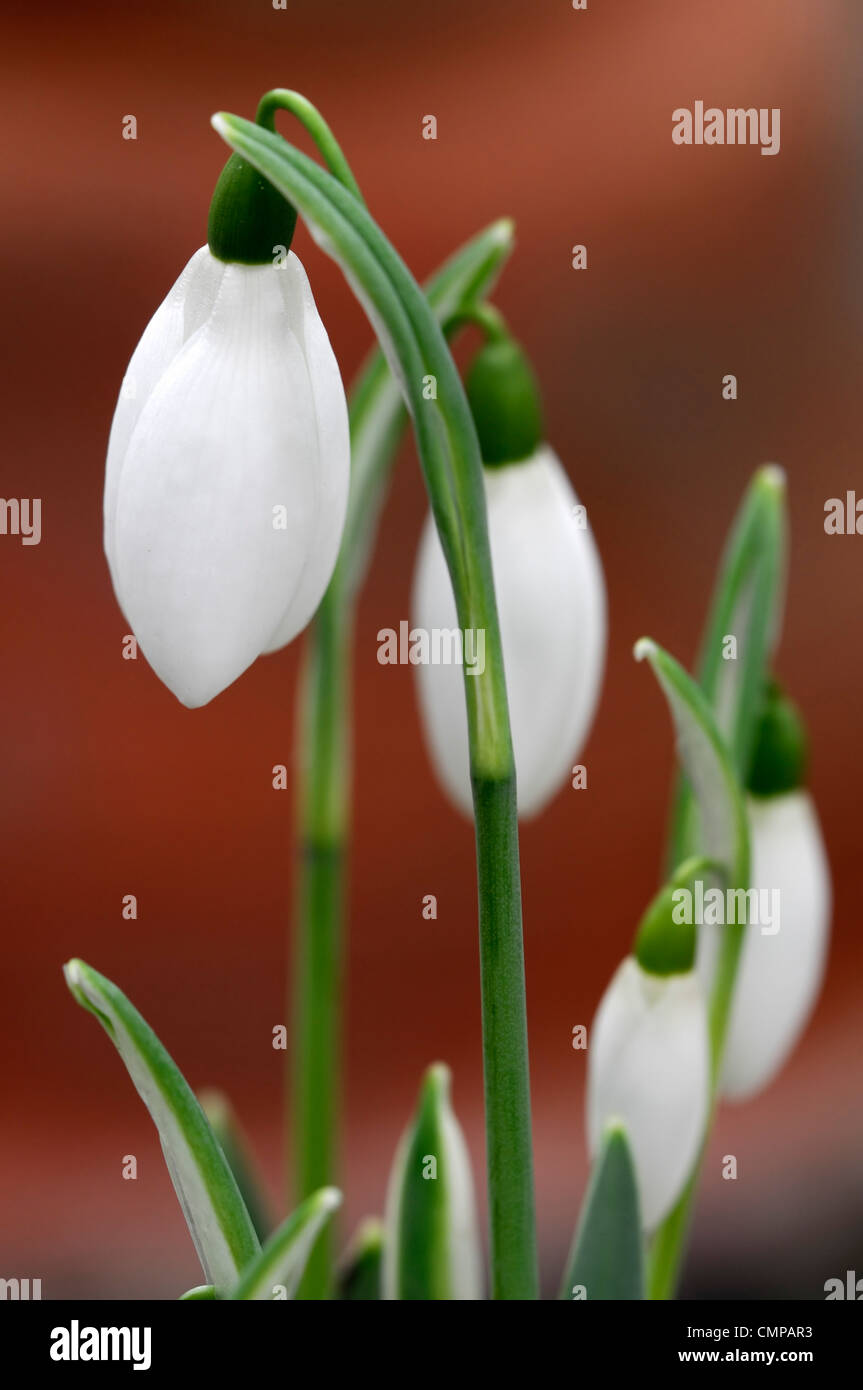galanthus caucasicus mrs mcnamara snowdrops bulbs february white flowers winter plant portraits close-ups petals - Stock Image