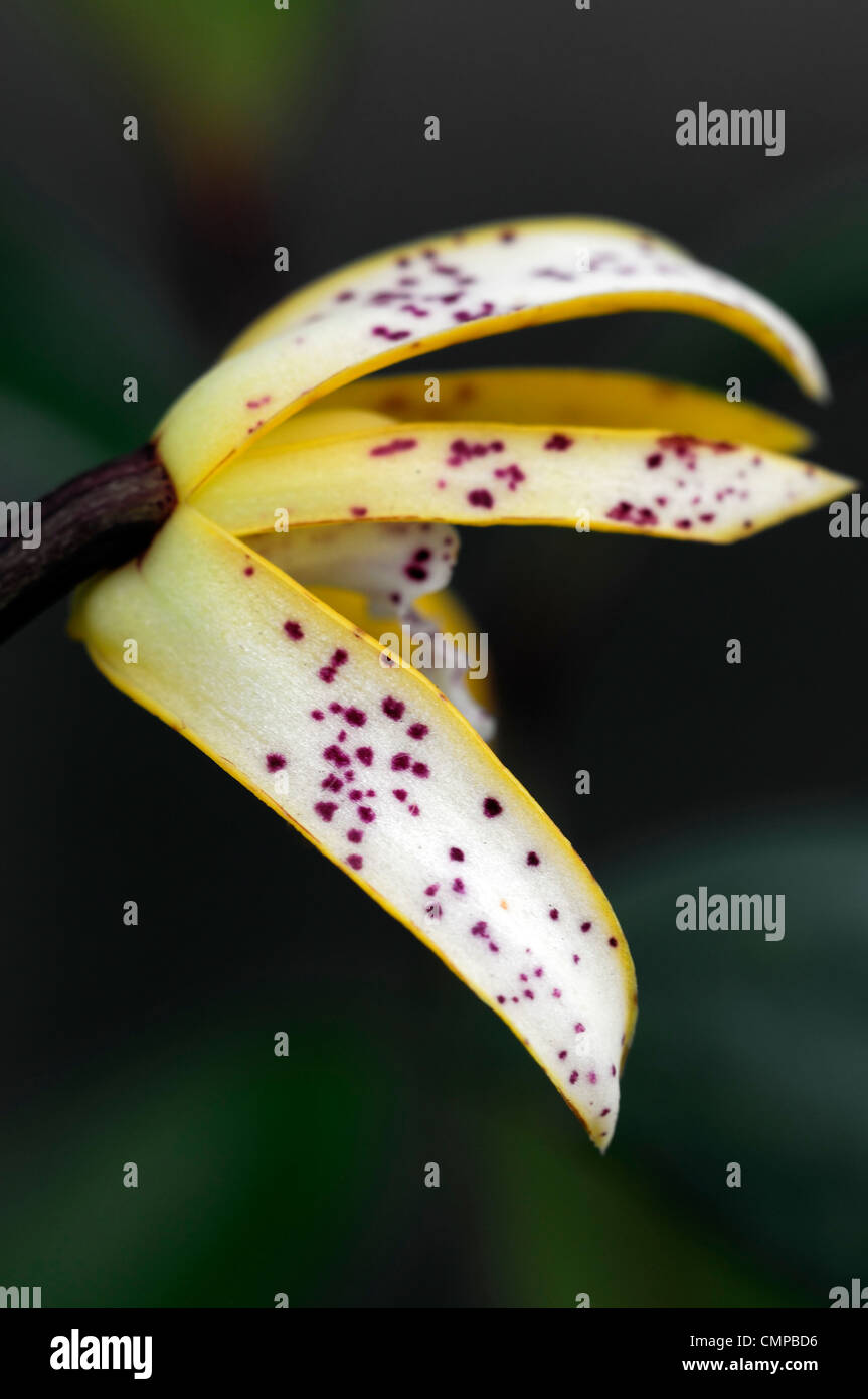maxillaria picta Jersey orange spotted  single flower bloom blossom epiphytic epiphyte lithophyte orchids exotic - Stock Image