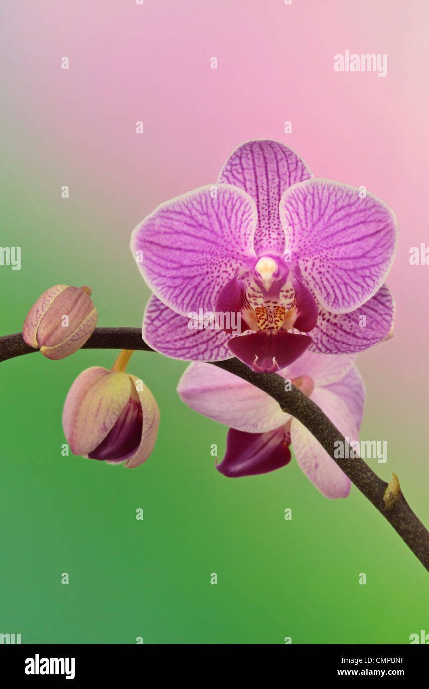 Purple orchid in spring - Stock Image