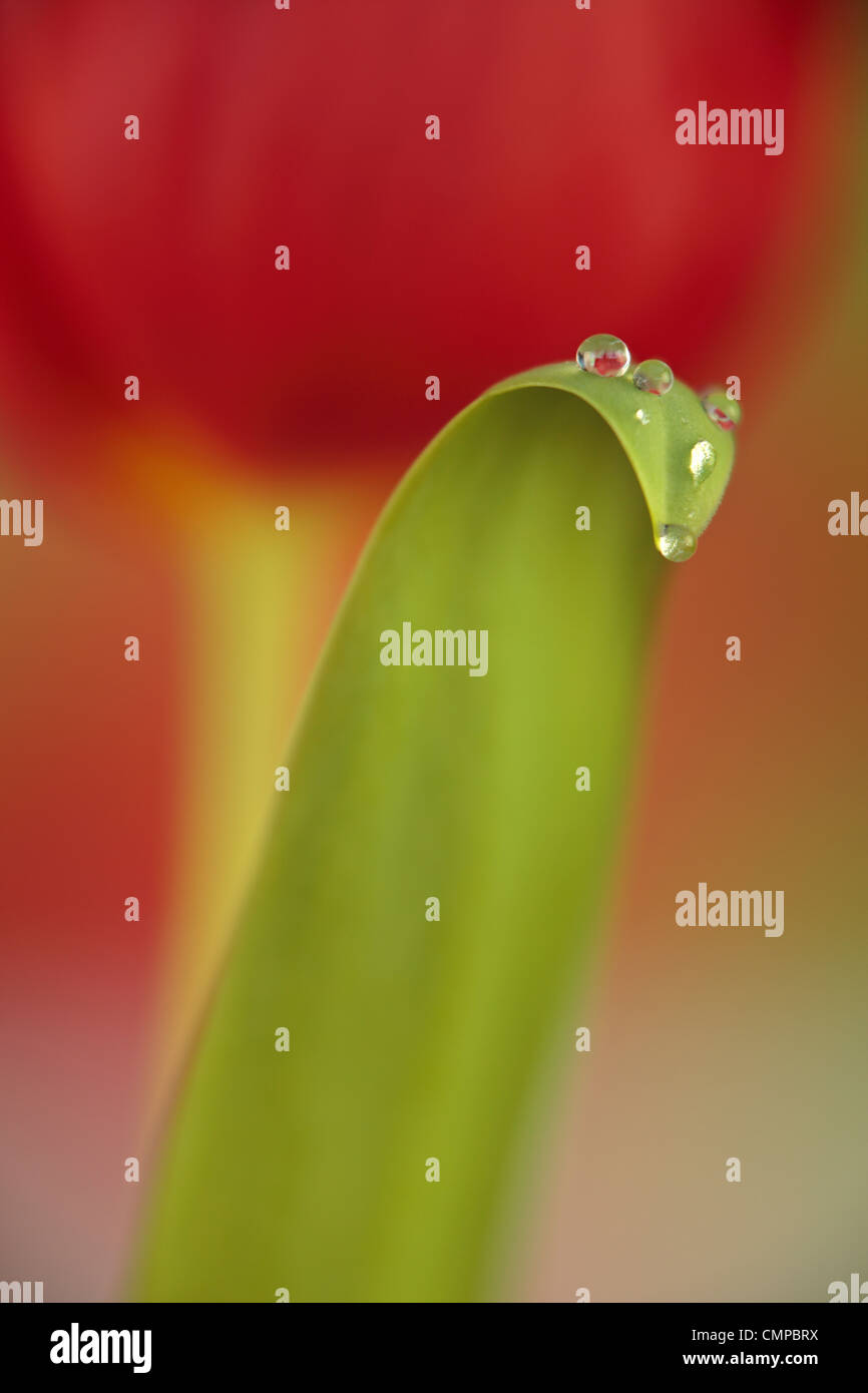 Soft focus closeup of red tulip in spring with dew drops - Stock Image