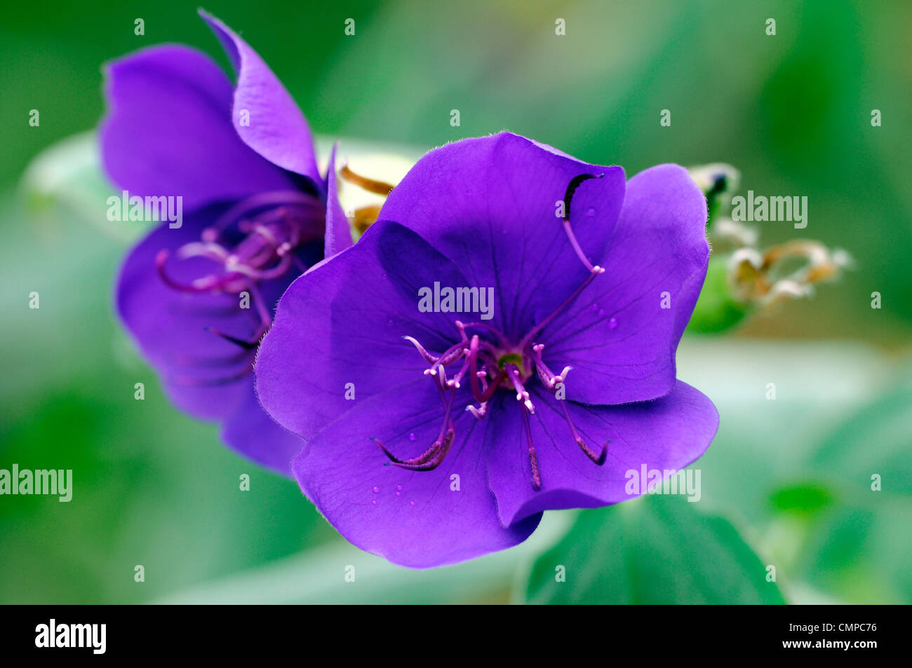 tibouchina urvilleana agm princess flower glory bush august autumn close ups colors colours fall flowering flowers - Stock Image