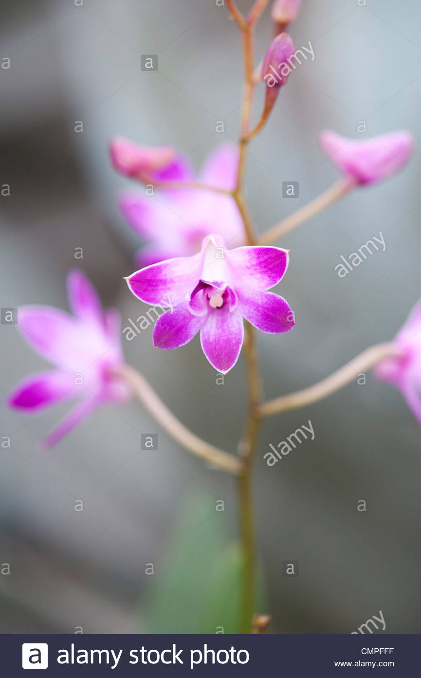 Dendrobium 'dancing flora' orchids - Stock Image