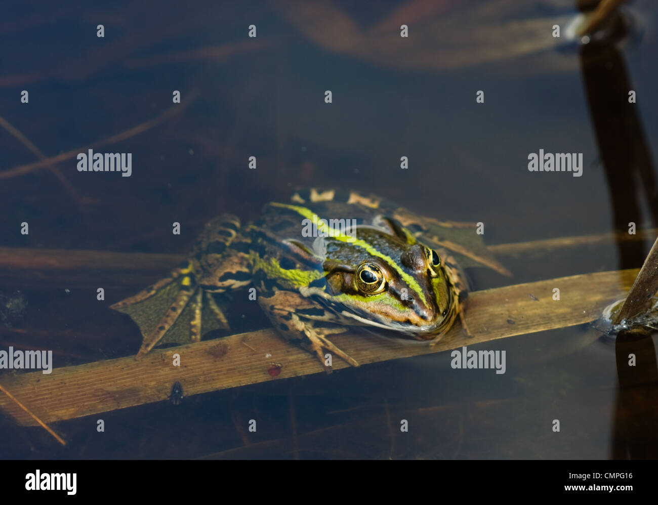 A Common Frog (Rana temporaria), resting in the clear water of a lake. - Stock Image