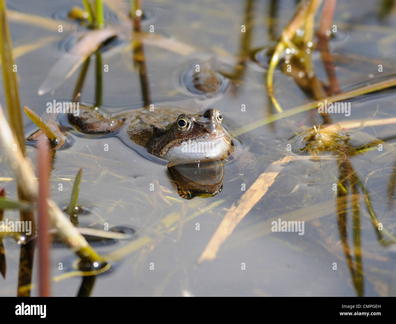 A spawning common frog ( Rana temporaria ) - Stock Image