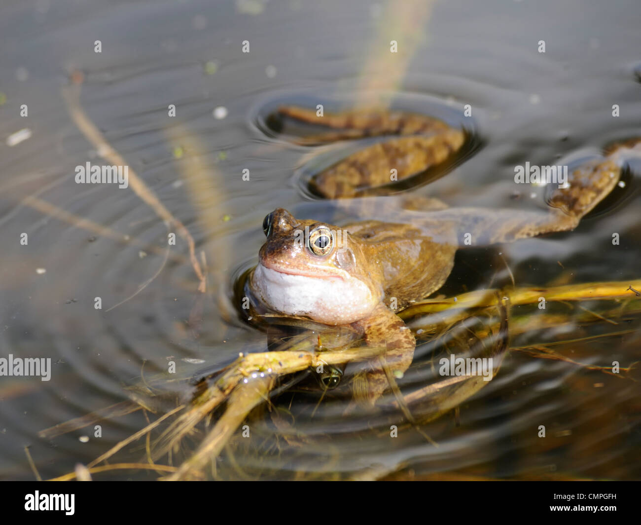 A common frog ( Rana temporaria ) lying on the surface of a pond - Stock Image