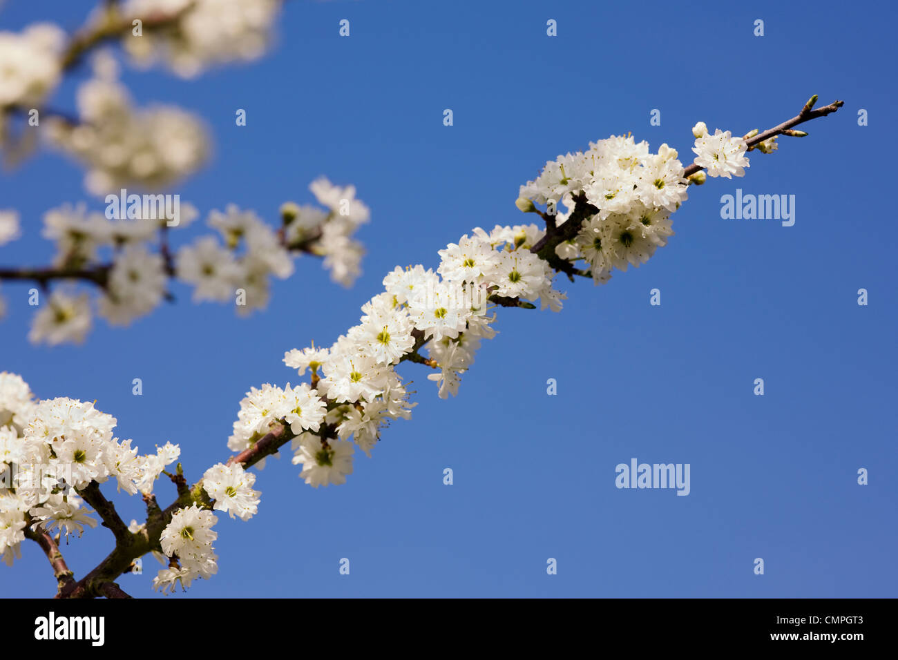 Prunus spinosa 'Plena'. Blackthorn flowers in Spring. - Stock Image