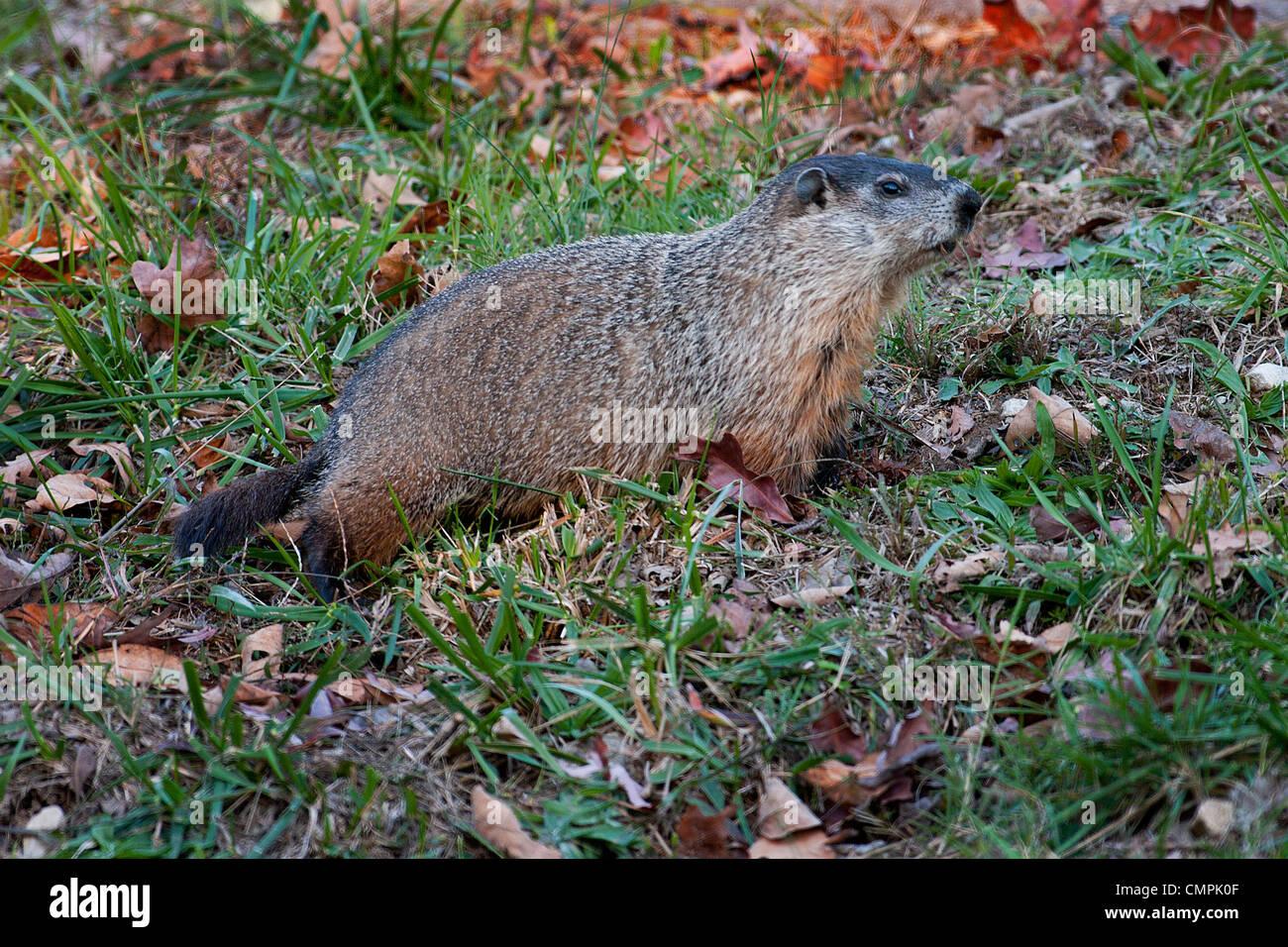 Groundhog, Woodchuck, Marmota monax - Stock Image