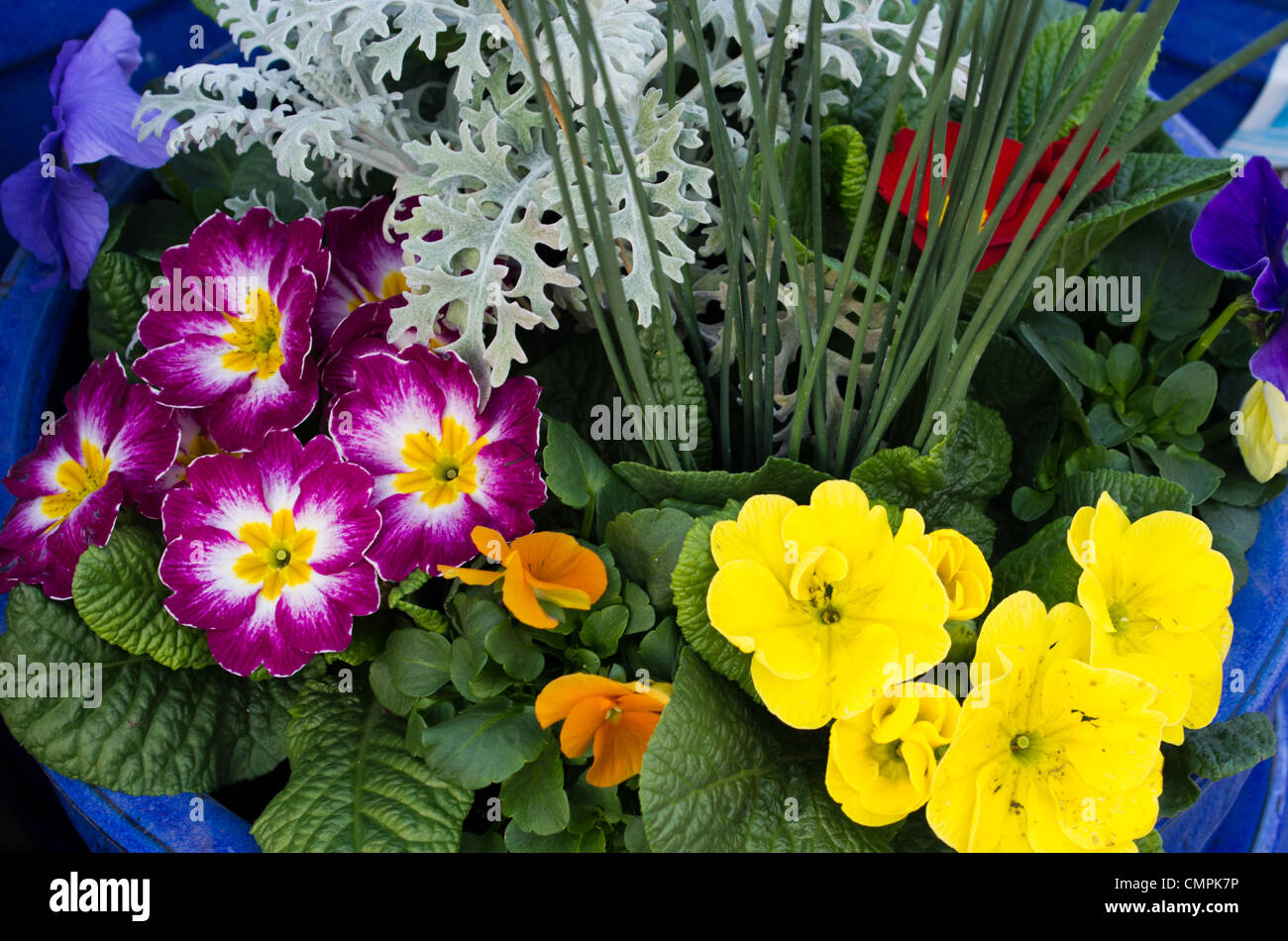 Primrose Flower Arrangement Stock Photos Primrose Flower