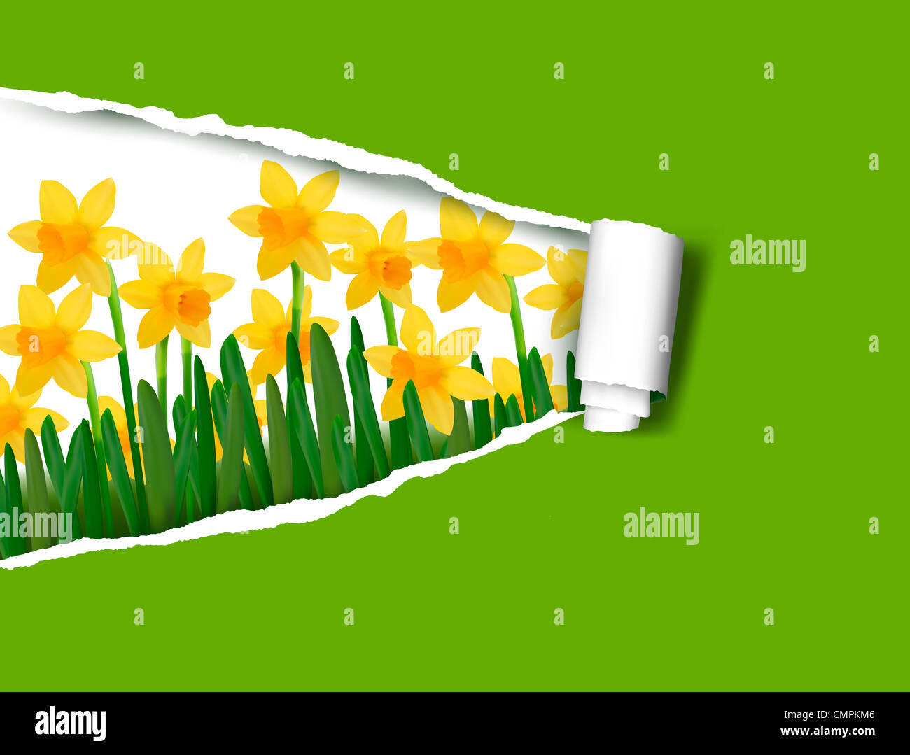 Daffodils background with ripped paper. - Stock Image
