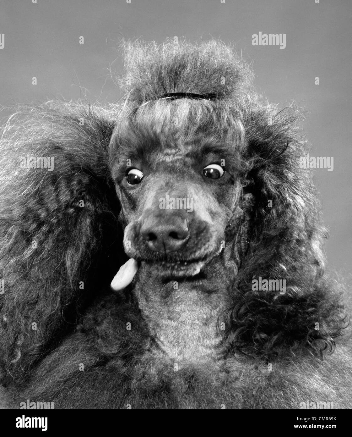1950s FRENCH POODLE EYES WIDE OPEN ABOUT TO CATCH DOG BISCUIT IN MOUTH INDOOR - Stock Image