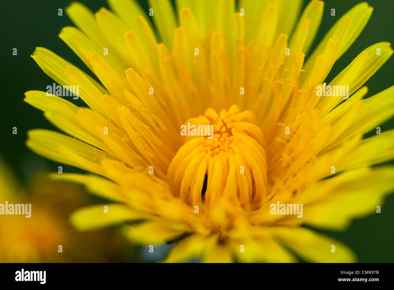 A close up of a dandelion flower - Stock Image