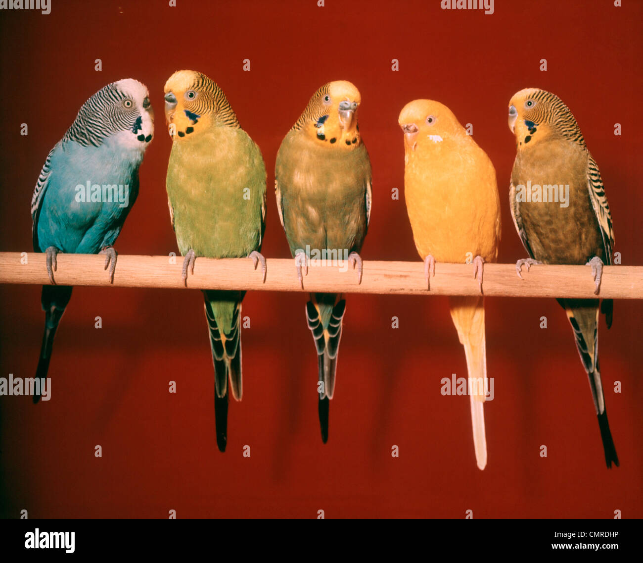 1970s GROUP OF FIVE PET PARAKEETS PERCHED AGAINST RED BACKGROUND - Stock Image