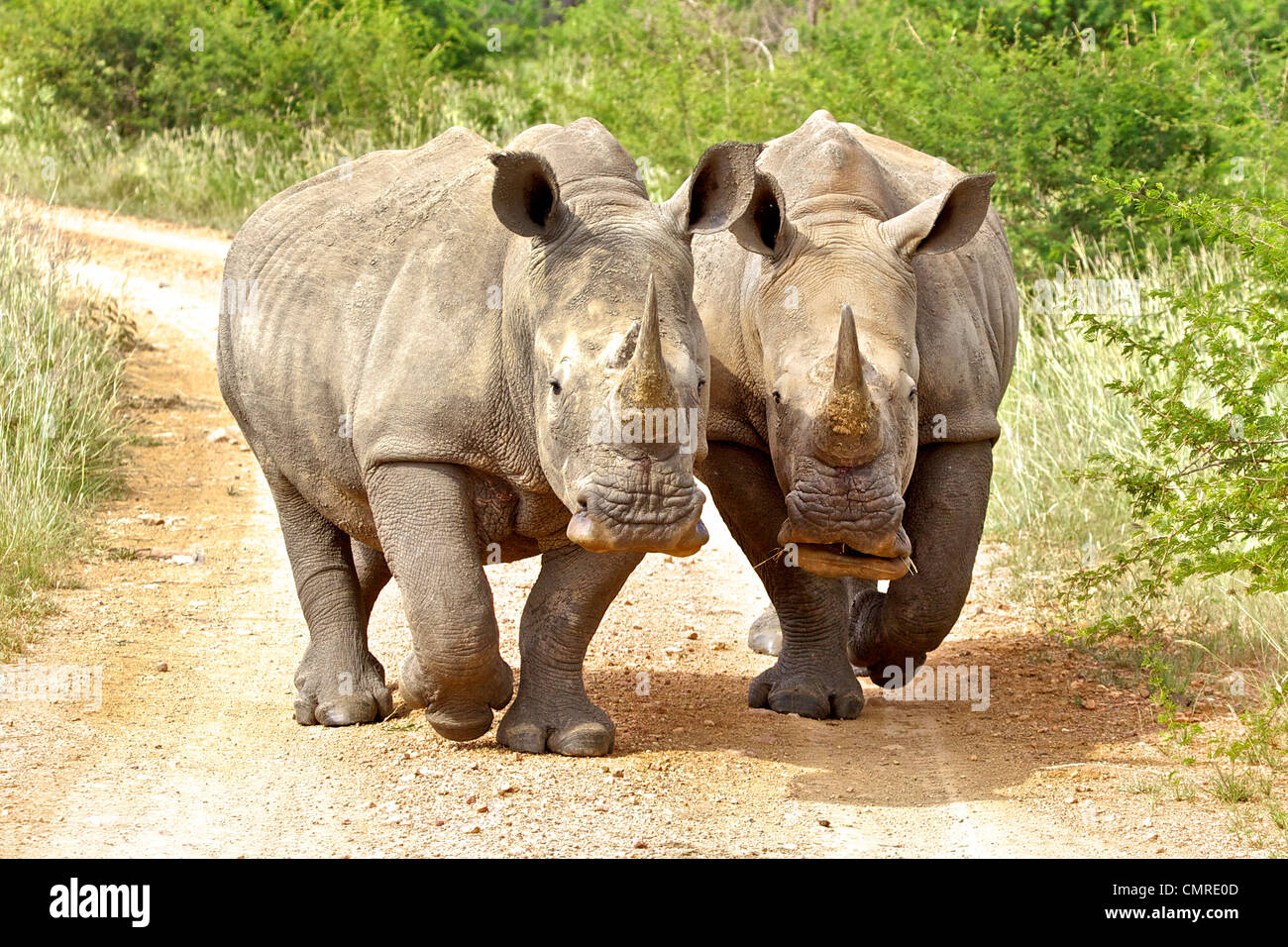 Two White Rhinoceros in South Africa - Stock Image