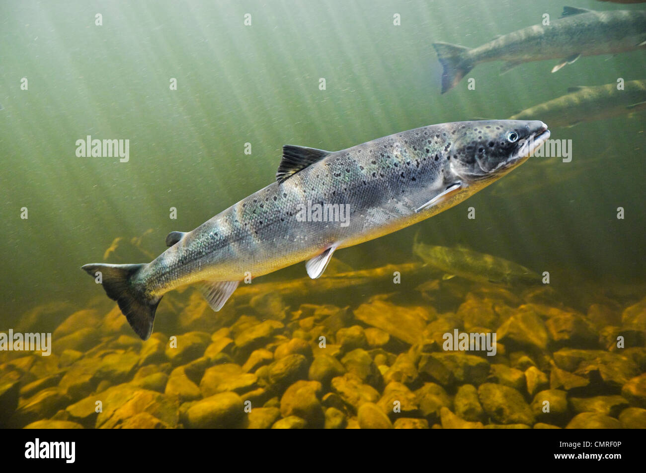 Atlantic Salmon migrate from salt water upstream to reach spawning grounds, Exploits River, NL - Stock Image