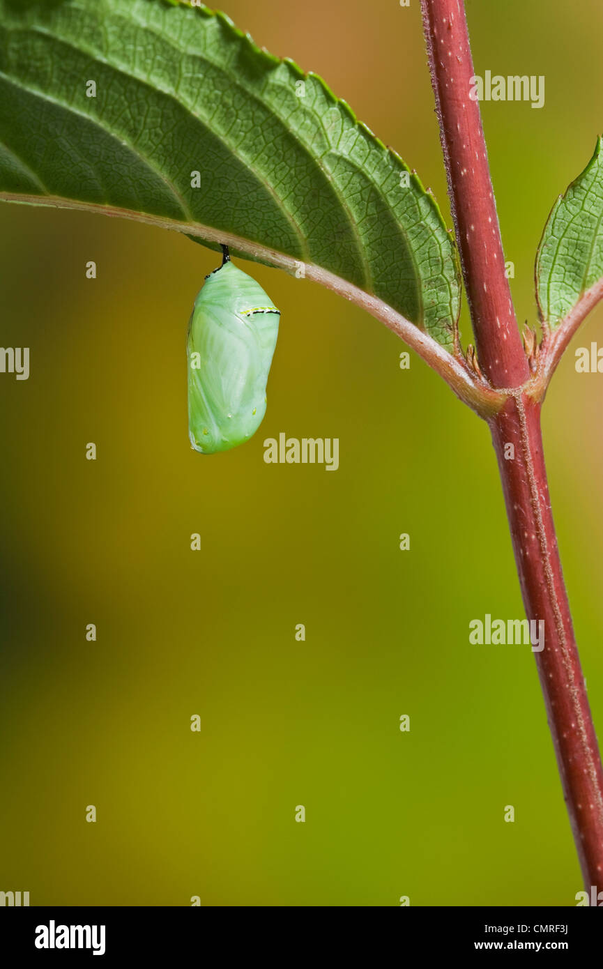 Monarch butterfly's newly formed chrysalis begins the pupal stage of its life cycle. Summer, Nova Scotia.  Series - Stock Image
