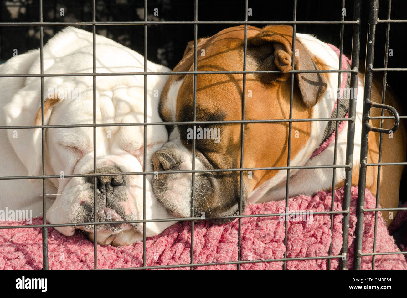 two boxer dogs sleeping in the back of a parked car. - Stock Image