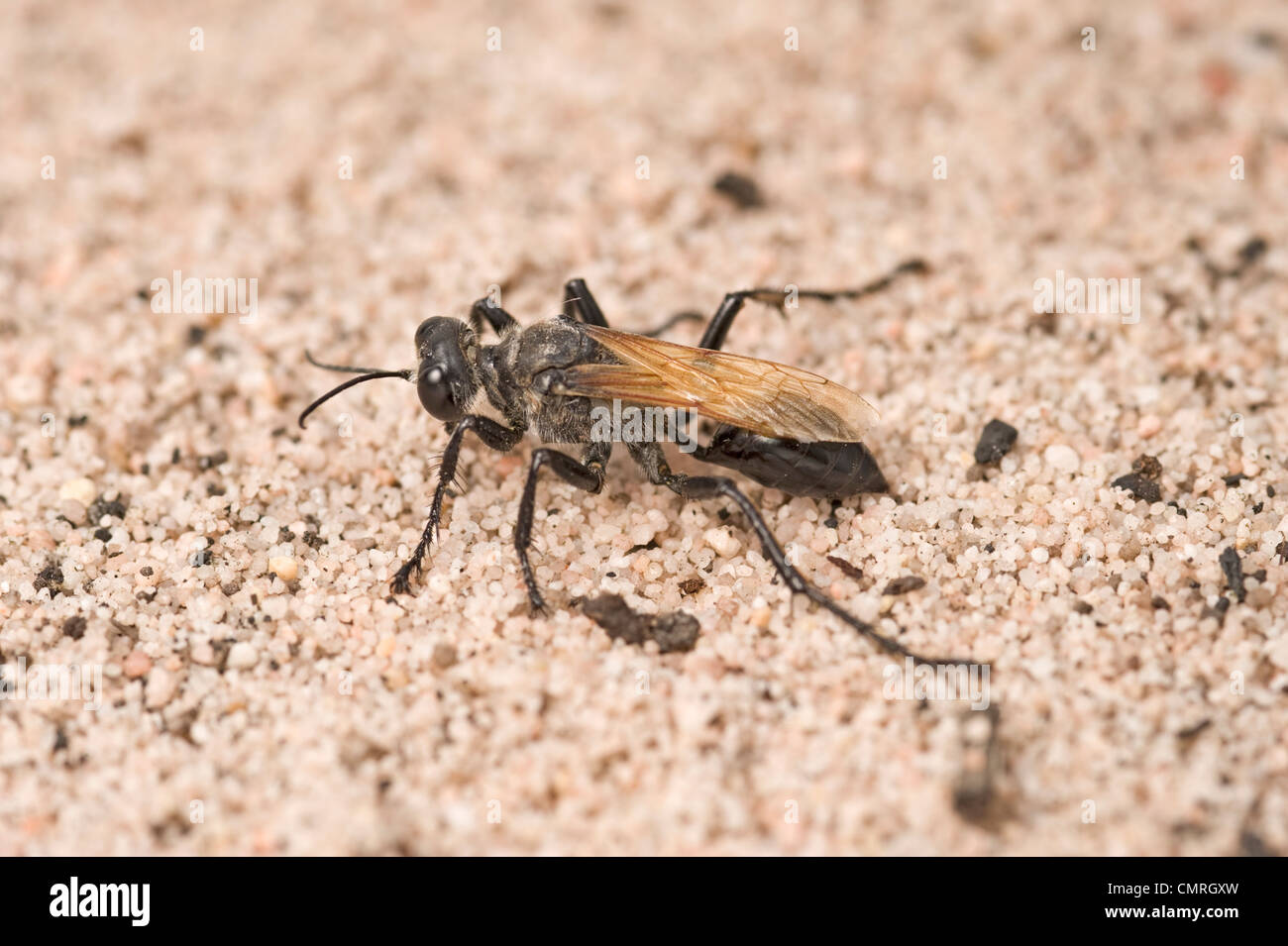 Australian digger wasp - a predator of locusts - Stock Image
