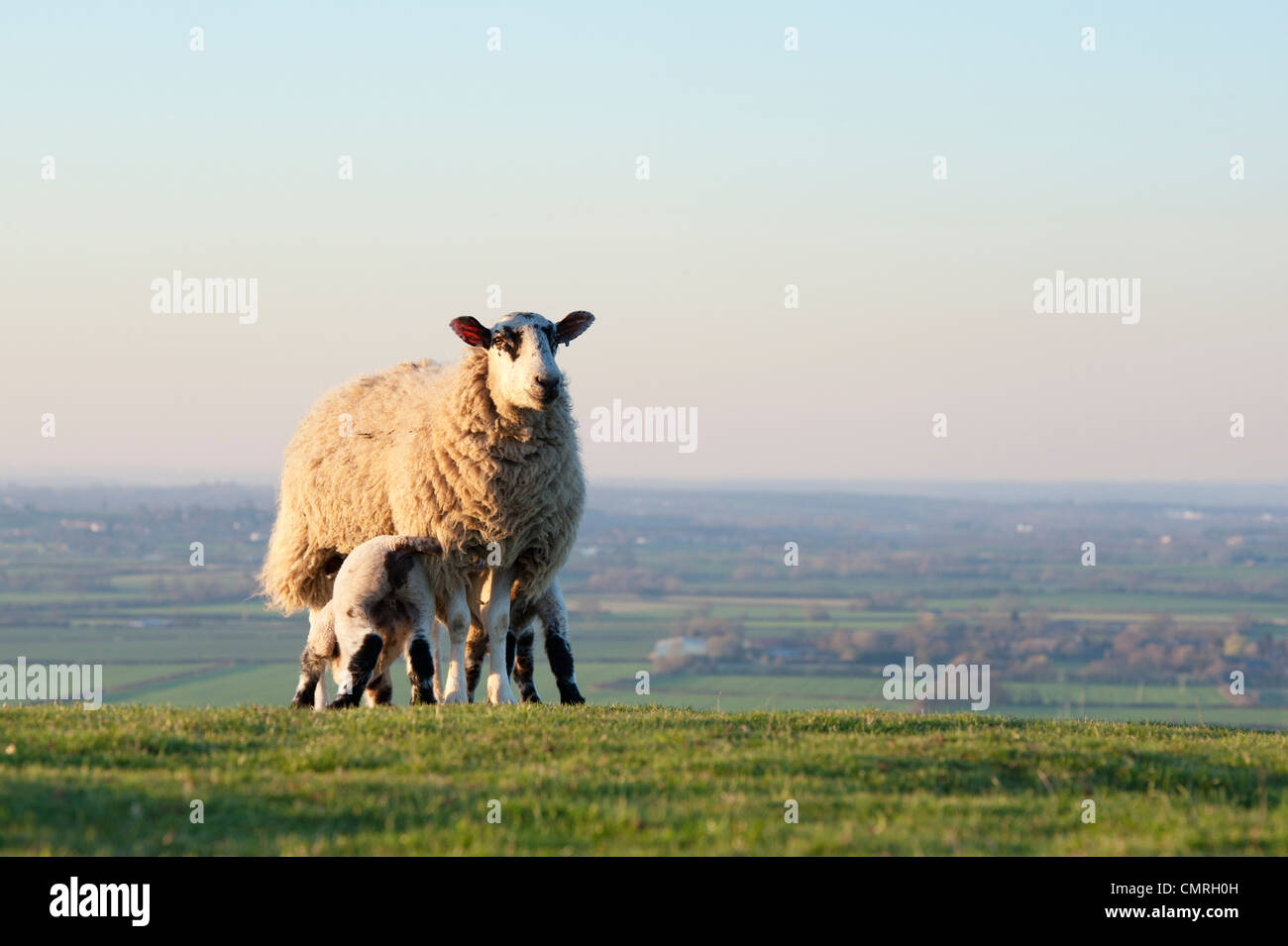 Lambs suckling from a ewe on a hillside in the english countryside. Oxfordshire, England - Stock Image