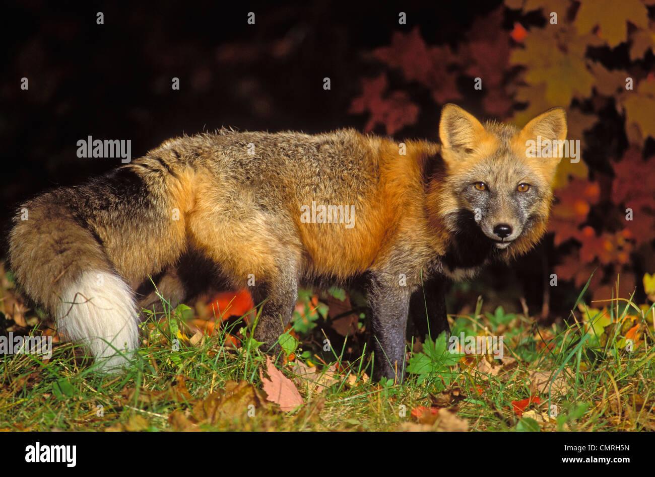 Tk0643, Thomas Kitchin; Red Fox In Autumn Maples. Cross Colour Phase. Minnesota. Vulpes Vulpes. - Stock Image