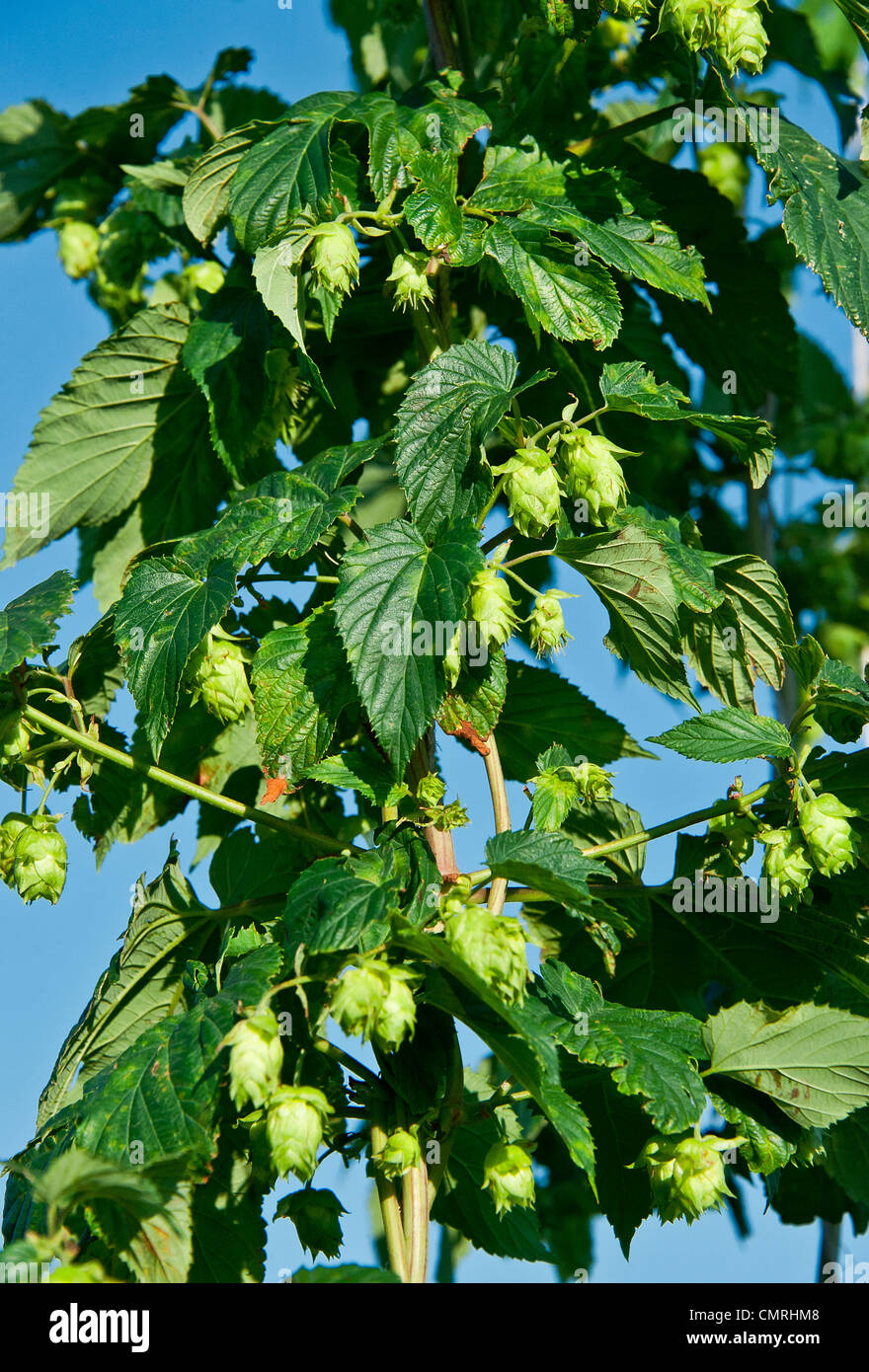 Hops plant, Humulus lupulus. - Stock Image