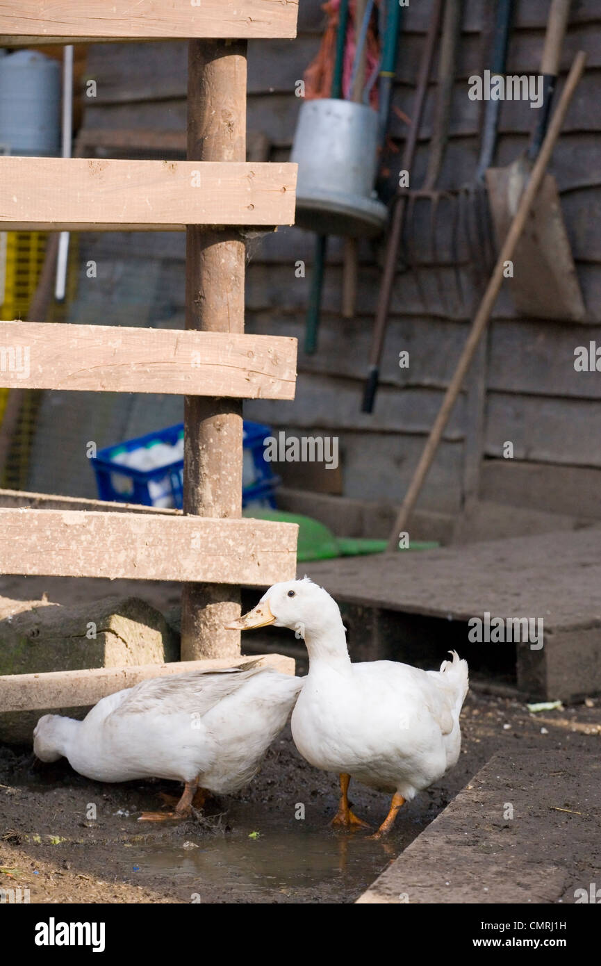 White duck Two adults on a farm UK - Stock Image