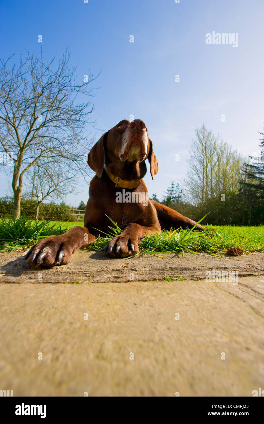 Irish Setter Dog, Red Setter in garden.pet.pup,pointing breed Stock Photo