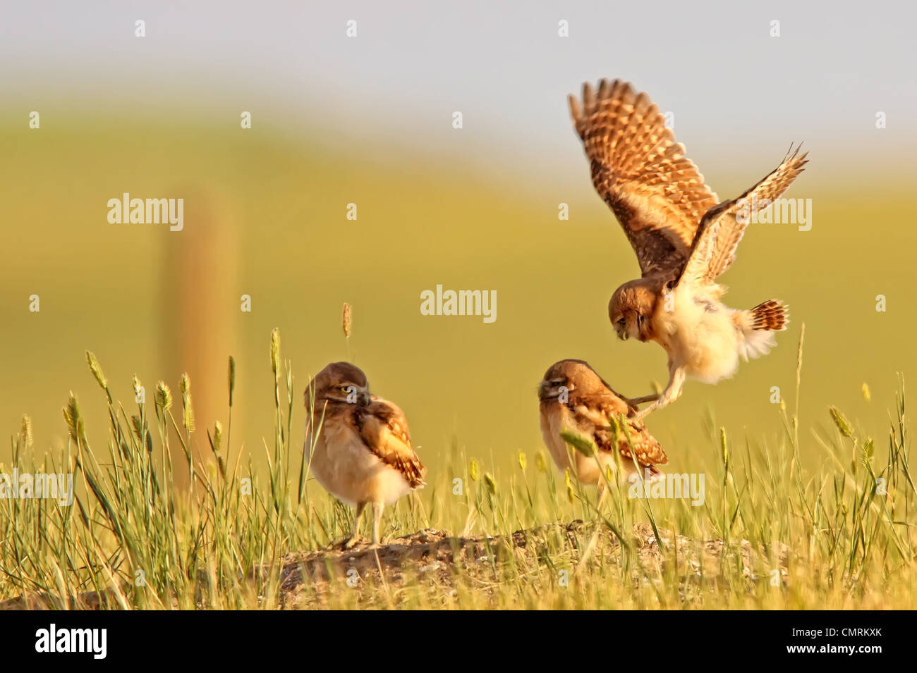 Digitally enhanced image with painterly effect of Burrowing owls playing outside burrow at sunset, Grasslands National - Stock Image