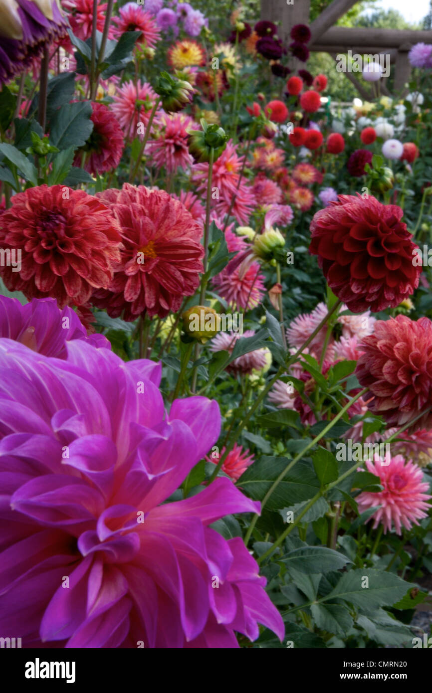 A showy display of dahlias - Stock Image