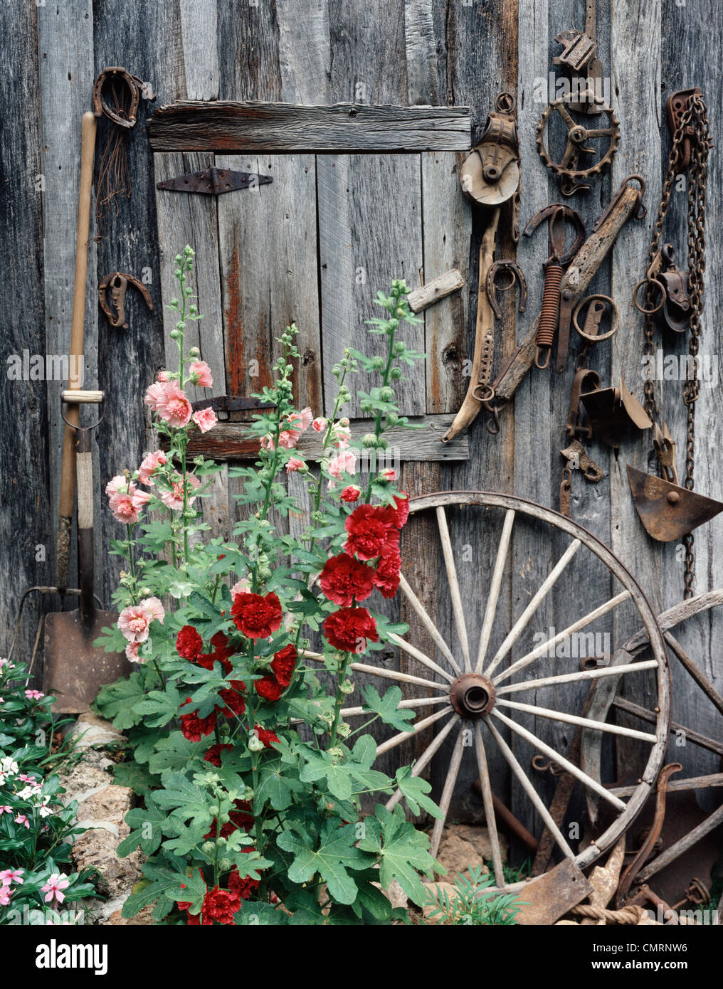 Pink Red Hollyhocks Flowers By Side Old Weathered Barn