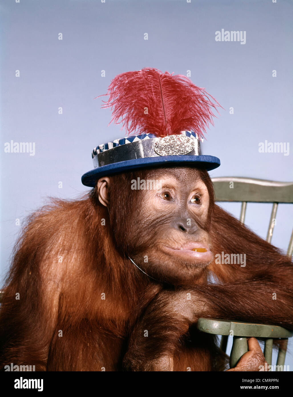 1960s FUNNY ORANGUTAN SITTING IN CHAIR WEARING HAT WITH GLITTER AND A FEATHER - Stock Image