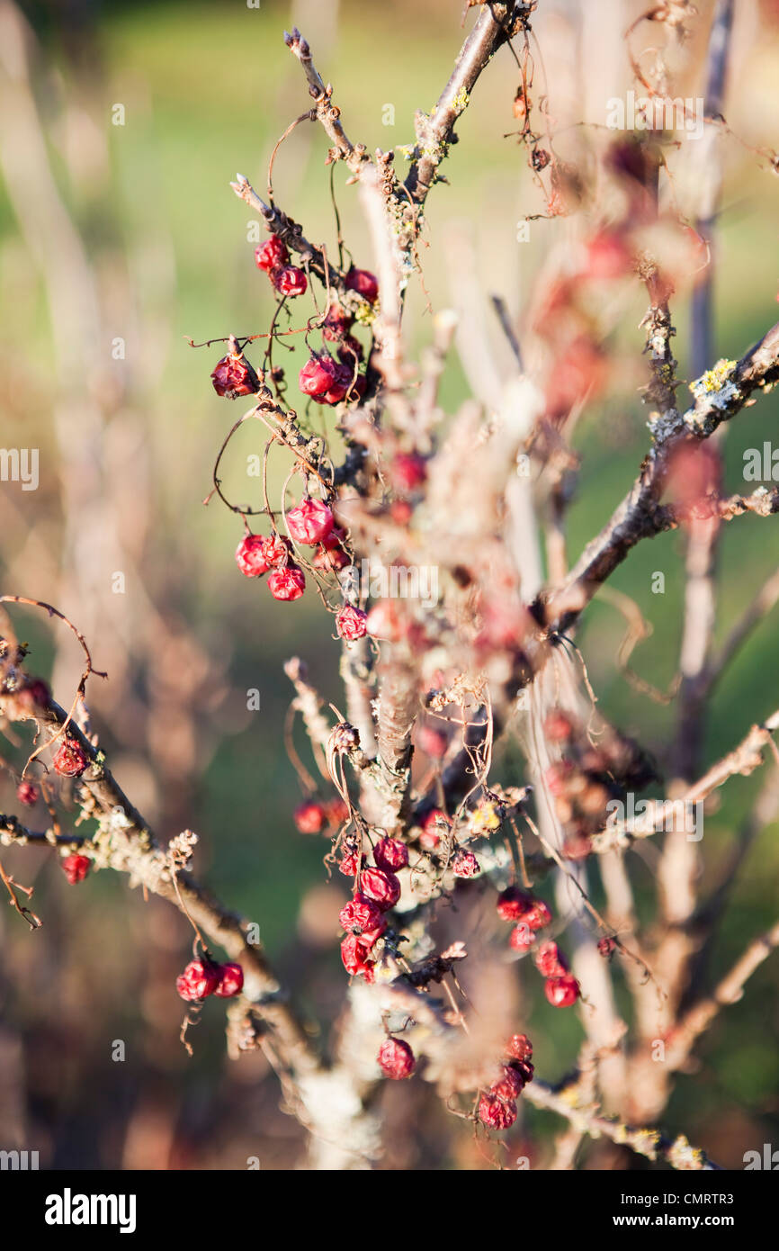 Withered berries - Stock Image