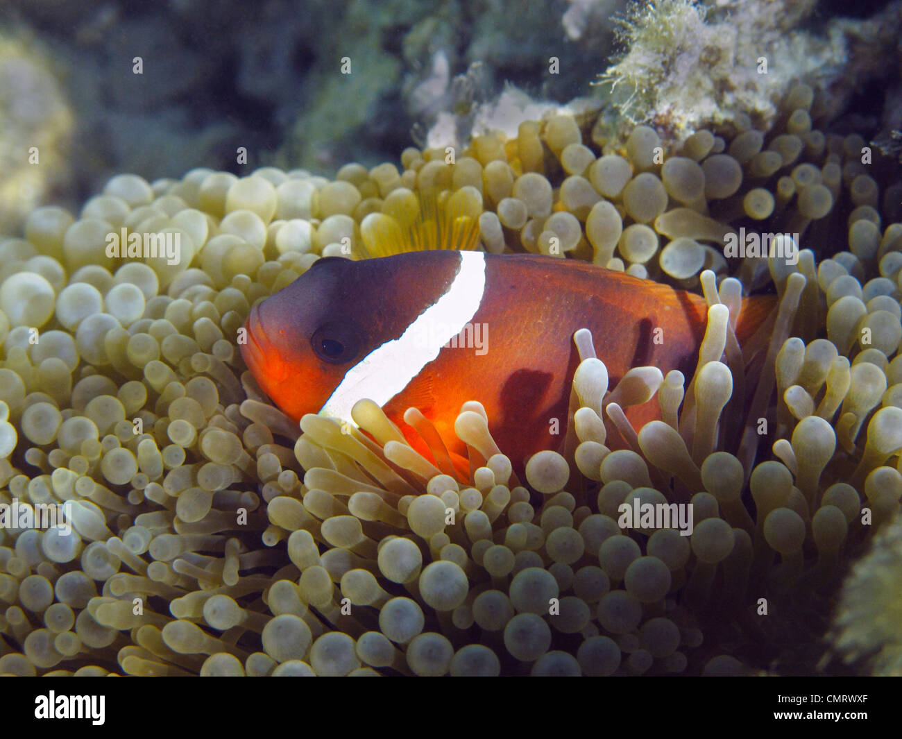 Red and Black Anemonefish (Amphiprion melanopus), Coral Coast, Viti Levu, Fiji, South Pacific Stock Photo