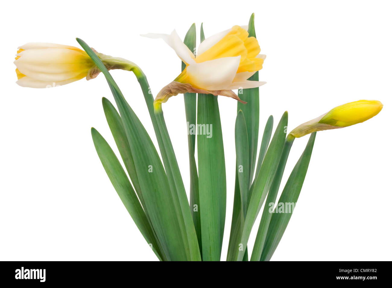 Young bush of yellow gentle lonely April spring narcissuses isolated - Stock Image