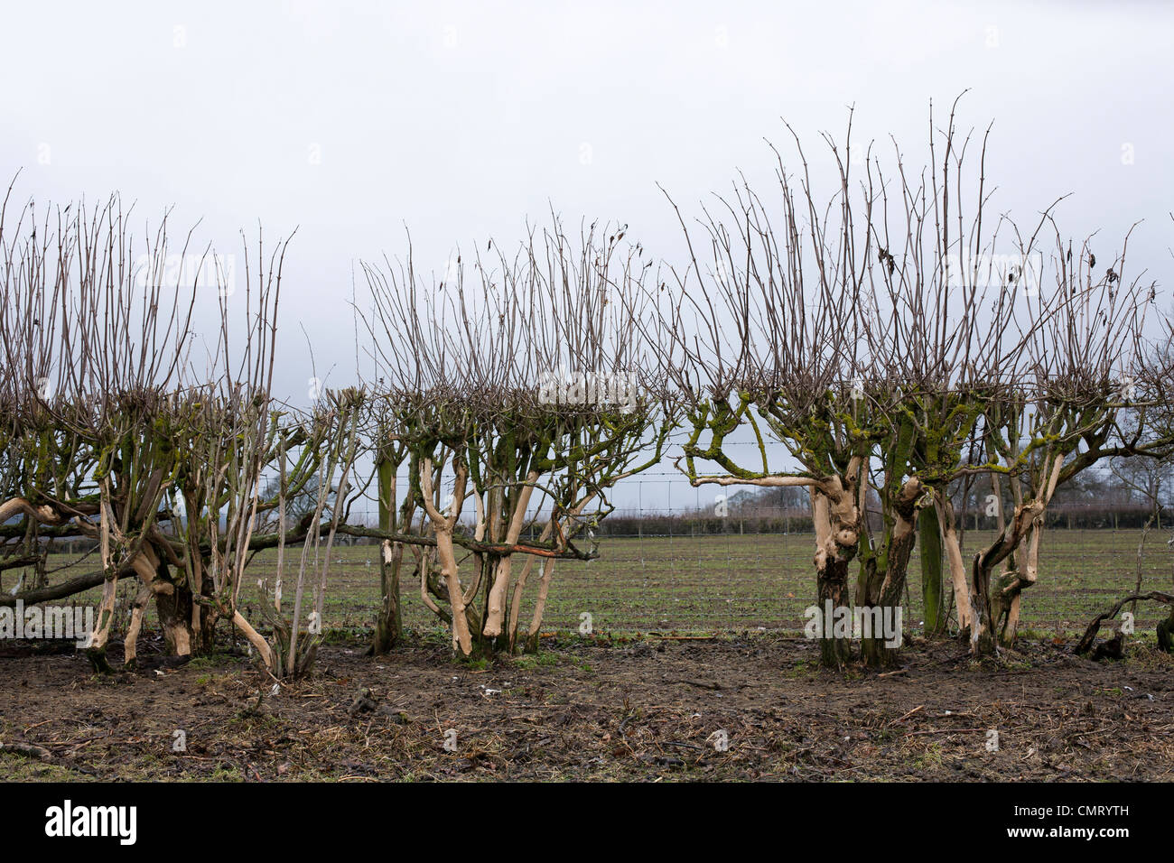 Damaged and neglected hedgerow near Derbyshire. - Stock Image