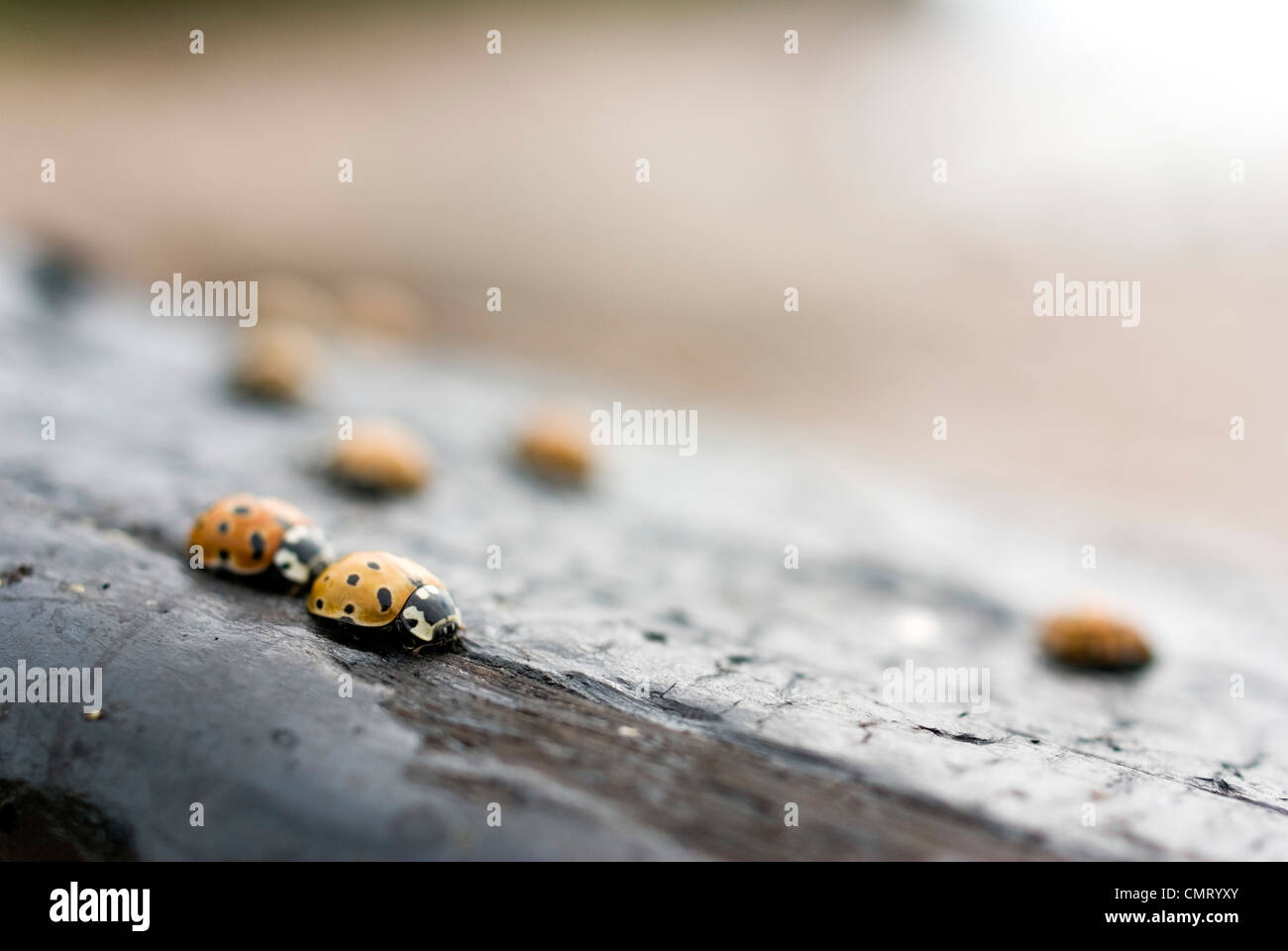 Selective focus of ladybugs on wood Stock Photo