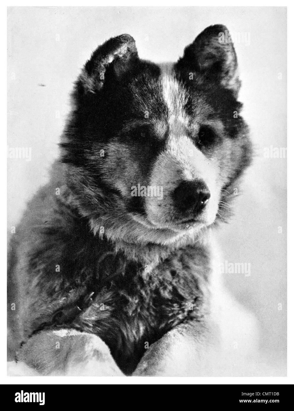 1912 Vida Lead sledge dog Scott Polar Expedition Terra Nova Expedition, officially the British Antarctic Expedition - Stock Image