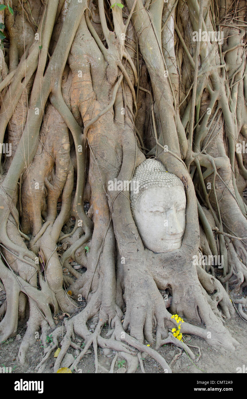 Thailand, Ayutthaya. Wat Mahathat (aka Wat Maha That) was the historic royal monastery. Buddha head encased in tree Stock Photo