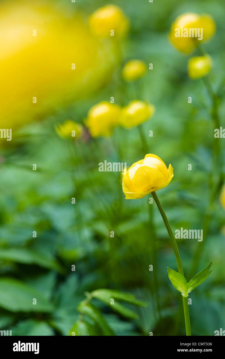 Meadow buttercups - Stock Image