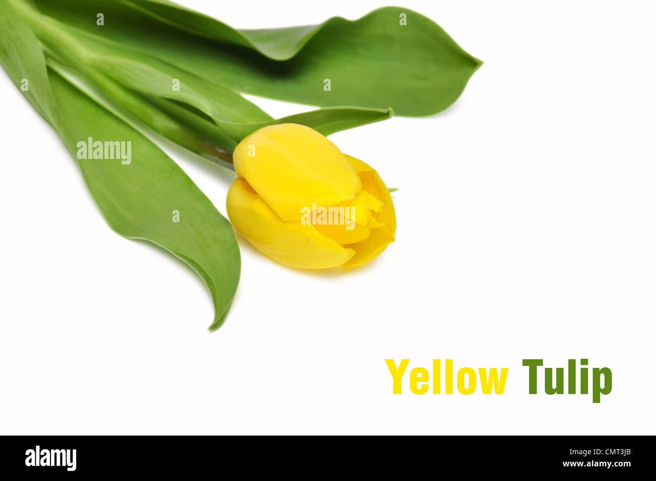 yellow tulip isolated on white background. Closeup, shallow DOF. Stock Photo